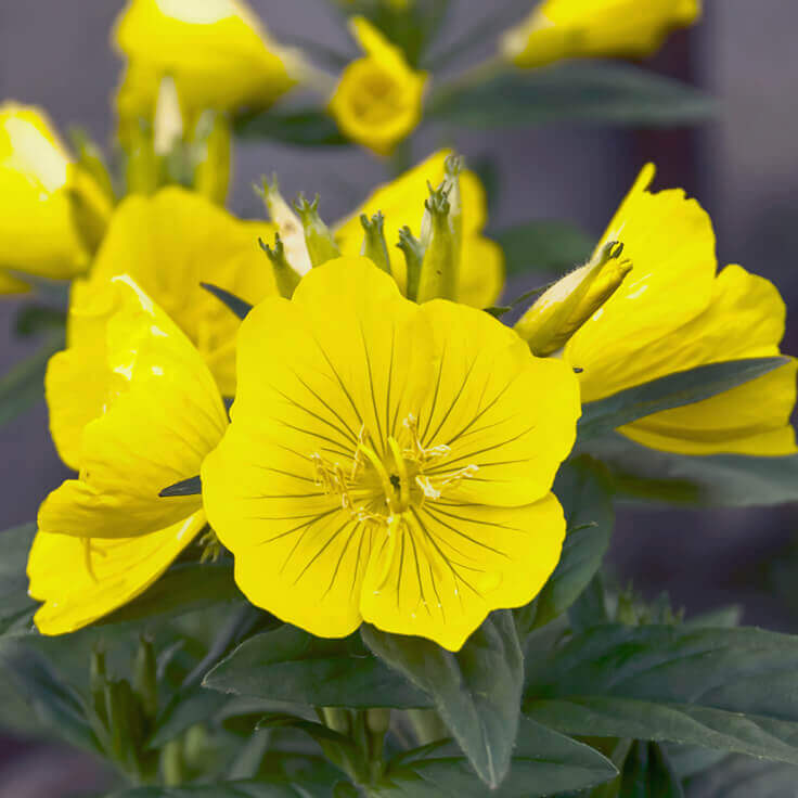 Where to buy evening primrose