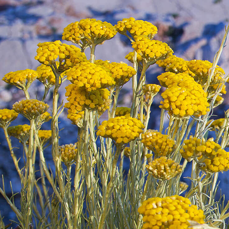 Immortelle absolute for Plante immortelle