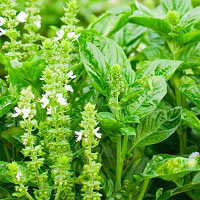 Basil Lemon Essential Oil