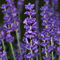 Lavender High Altitude Essential Oil (France)