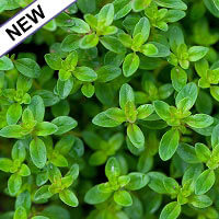 Thyme, Lemon Essential Oil