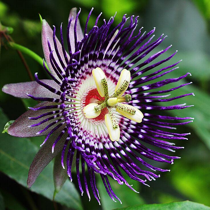 Maracuja (Passion Flower Fruit) Oil