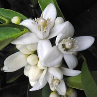 Neroli 10% Essential Oil
