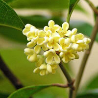 Osmanthus Absolute 10% (Hexane Free)