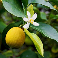 Petitgrain Lemon Essential Oil