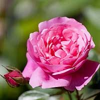 Rose Moroc Absolute 10%