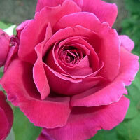 Rose Bulgaria Floral Wax