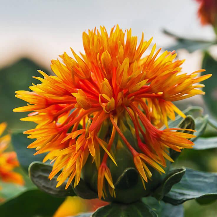 Saffflower