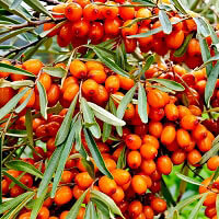Seabuckthorn Berry Co2 Extract
