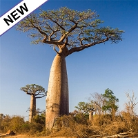 Baobab Seed Oil, Virgin