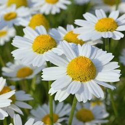 Chamomile Blue German