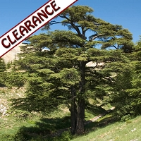 Cedarwood Atlantic (Atlas) Essential Oil CLEARANCE