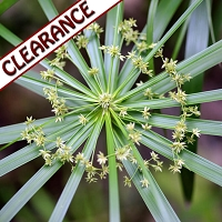 Cypriol (Nagarmotha) Essential Oil CLEARANCE