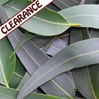 Eucalyptus citriodora, Lemon Eucalyptus Essential Oil CLEARANCE