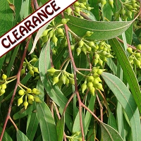 Eucalyptus smithii Essential Oil CLEARANCE