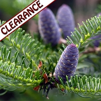 Fir Balsam Essential Oil CLEARANCE