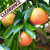 Grapefruit Pink Essential Oil CLEARANCE