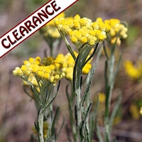 Helichrysum gymnocephalum Essential Oil CLEARANCE