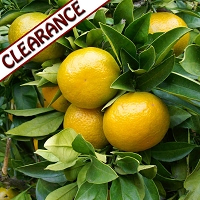 Mandarin, Yellow Essential Oil CLEARANCE