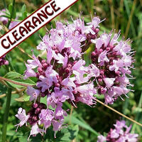 Oregano Essential Oil CLEARANCE