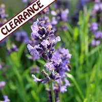 Spanish Sage Essential Oil CLEARANCE