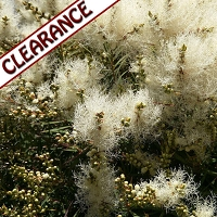 Tea Tree Essential Oil CLEARANCE