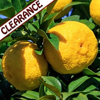 Yuzu Essential Oil CLEARANCE
