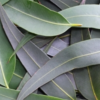 Eucalyptus citriodora, Lemon Eucalyptus Essential Oil