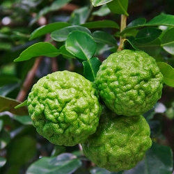 Kaffir Lime Leaf Essential Oil