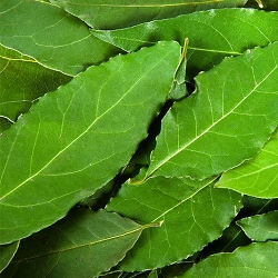 Bay, Laurel Leaf Essential Oil, 1 mL Sample