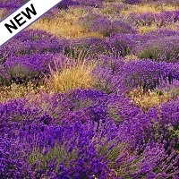 Lavender Wild Essential Oil (France)