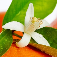 Sweet Orange Blossom Hydrosol