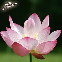 Lotus Pink Absolute 10% (Hexane Free)