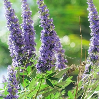 Vitex Essential Oil (Chasteberry)