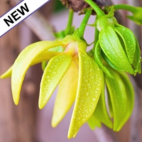 Ylang Ylang I Essential Oil