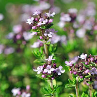 Thyme ct geraniol Essential Oil