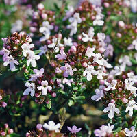 Thyme ct linalool Essential Oil