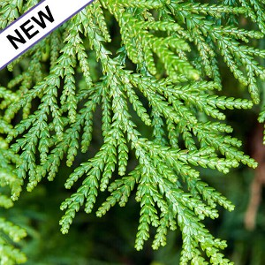 Cedar Leaf, White Thuja Essential Oil