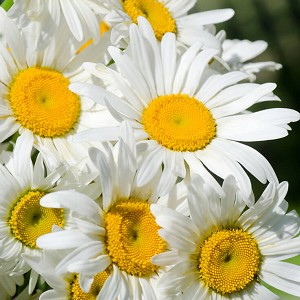 Chamomile Roman Essential Oil (USA)