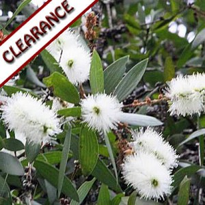 Cajeput Essential Oil CLEARANCE