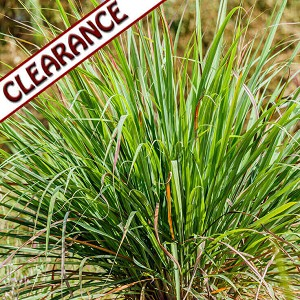 Citronella Java Essential Oil CLEARANCE