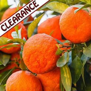 Mandarin, Red Essential Oil CLEARANCE