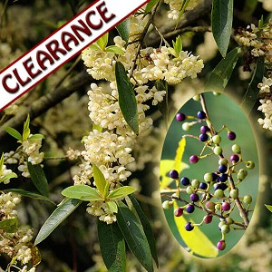 May Chang (Litsea) Essential Oil CLEARANCE