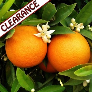 Orange Sweet Organic Essential Oil CLEARANCE