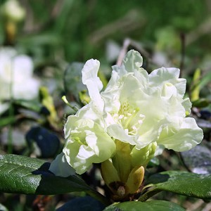 Rhododendron anthopogon Essential Oil