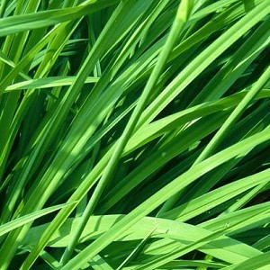 Gingergrass Essential Oil, 1 mL Sample