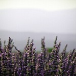 Lavender (High Altitude) Essential Oil