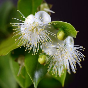 Lemon Myrtle Essential Oil, 1 mL Sample