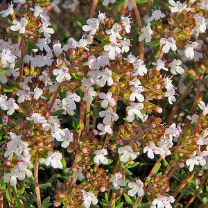 Thyme ct thymol Essential Oil