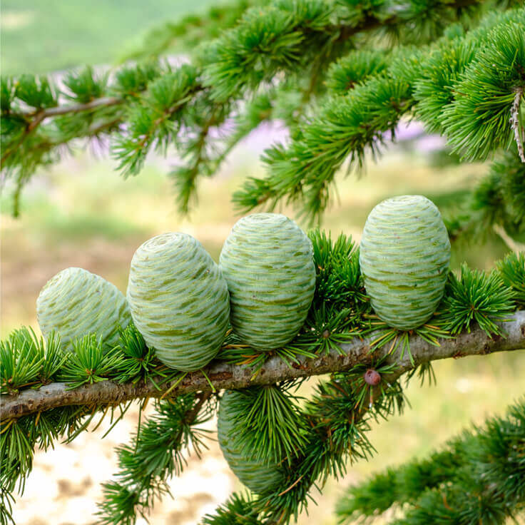 Cedarwood Atlantic (Atlas) Essential Oil